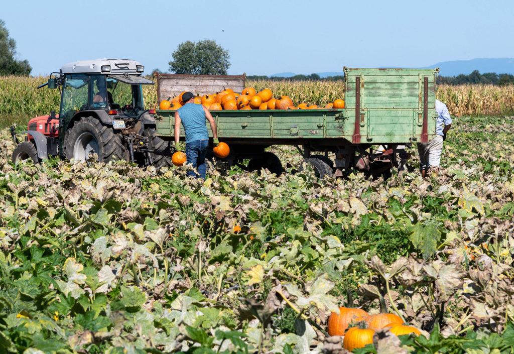 Landwirt Peter Rauer sorgt mit seinem Team für die 180.000 Kürbisse im Europa-Park